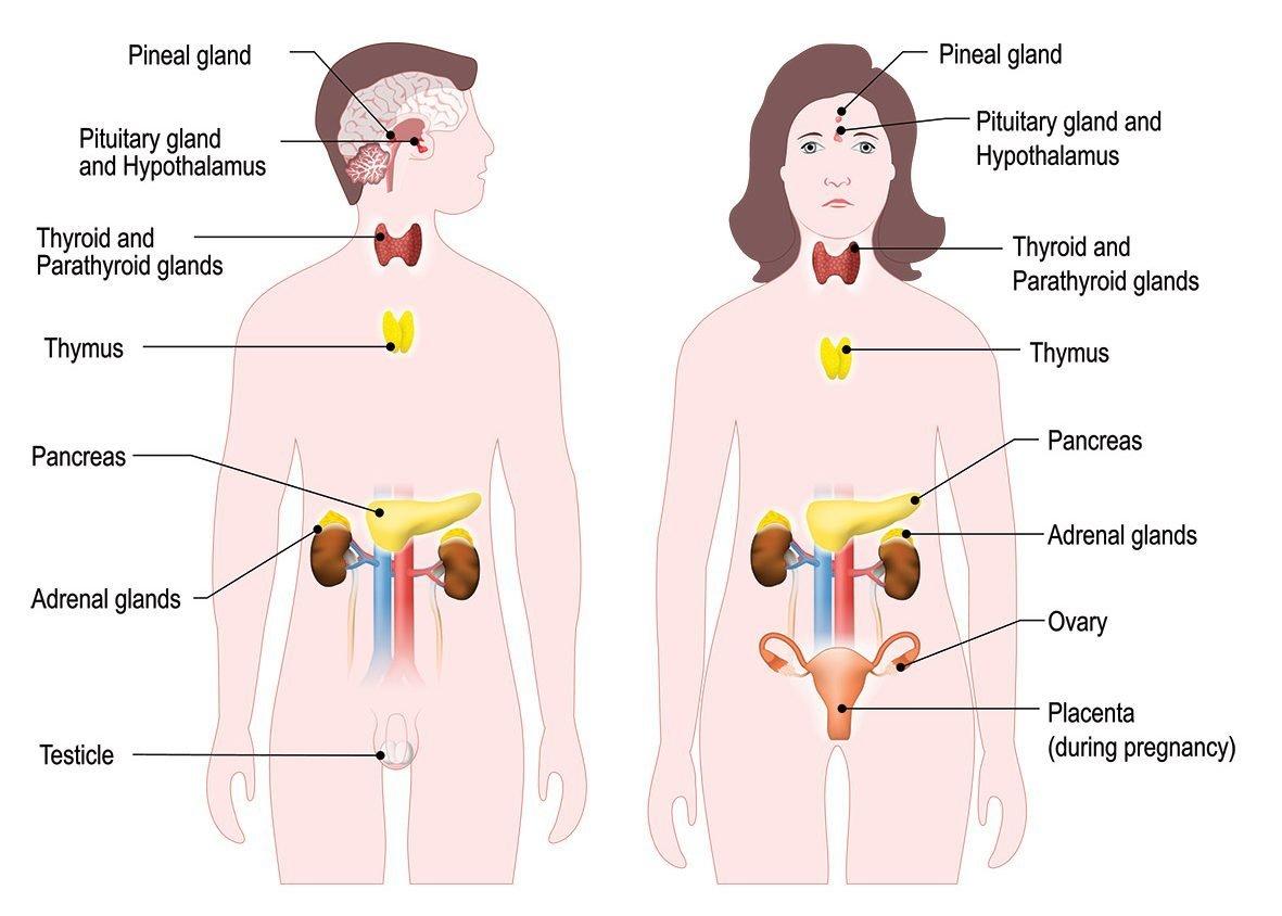HA_Endocrine_System