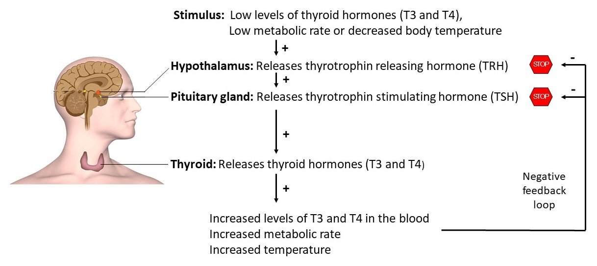 Thyroid Gland Hormones Australia