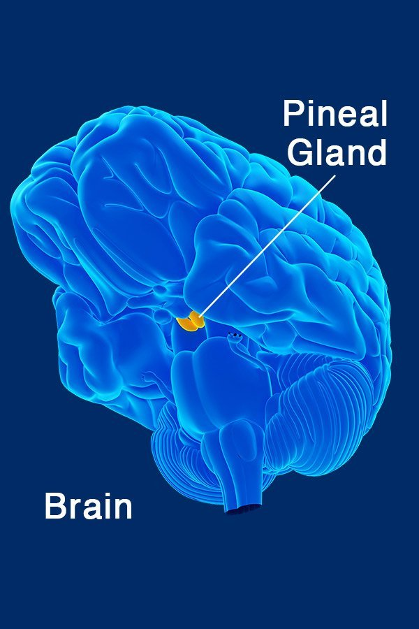HA_Endocrine_System_Pineal